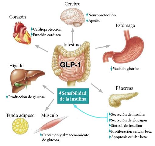 papel del páncreas en la diabetes